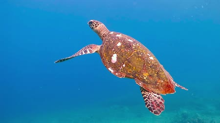 maldivas : Sea turtle swimming underwater