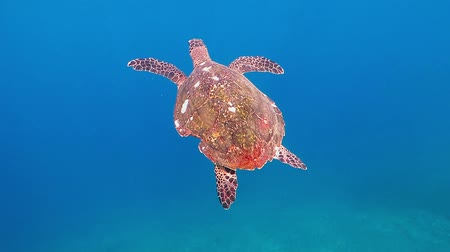 Sea turtle swimming to the surface in the blue water.