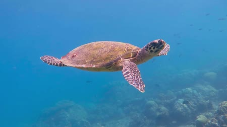 Sea turtle swimming in the shallow water to the sun.