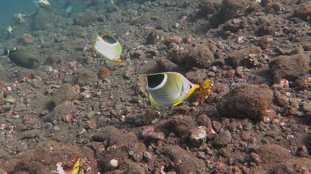 Флорес : Pair of tropical fish swimming over the rocky bottom.