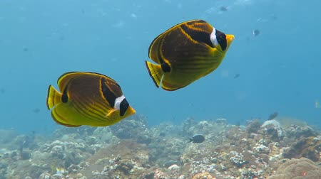 Флорес : Couple of yellow black raccoon butterflyfish swimming in the shallow blue water of the tropical exotic sea. Стоковые видеозаписи