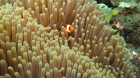 Флорес : Tropical colorful reef nemo fish in the anemone.