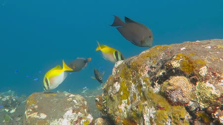 Флорес : Tropical exotic fish in the sea, swimming over the stones and corals Стоковые видеозаписи