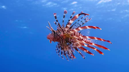 şnorkel : Red lionfish swimming in the blue sea water Stok Video