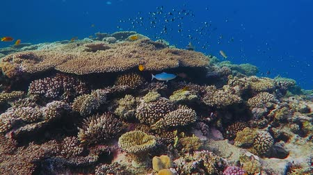 aqaba : Colorful rich underwater coral reef with school of fish