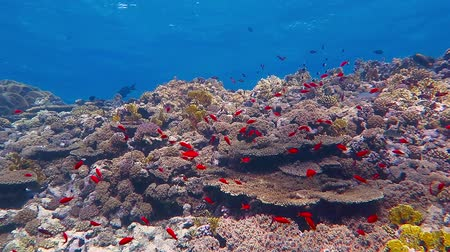 Coral reef, blue sea and school of red fish in shallow water Стоковые видеозаписи