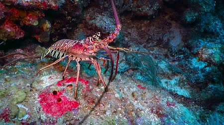 Big red spiny lobster, crayfish walking on the coral reef