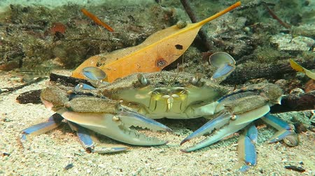 Big grey blue crab on the sandy bottom