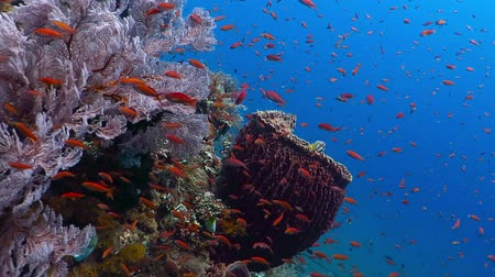 Флорес : Underwater healthy coral reef with big sponge and lots of colorful fish.