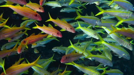 Big school of colorful tropical mullet fish swimming in vortex.
