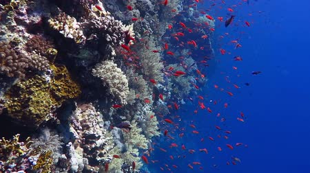 Healthy coral reef  wall, small fish and deep blue water. Стоковые видеозаписи
