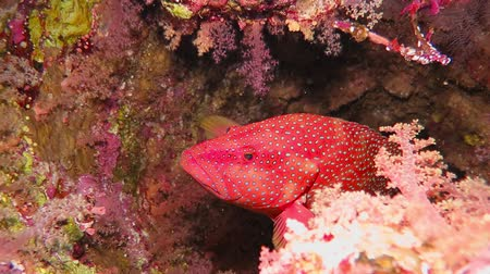 Red spotted grouper fish swimming from the big sponge. Стоковые видеозаписи