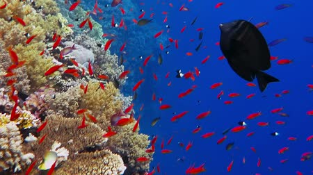 aqaba : Colorful underwater coral reef with deep blue water and lots of fish.