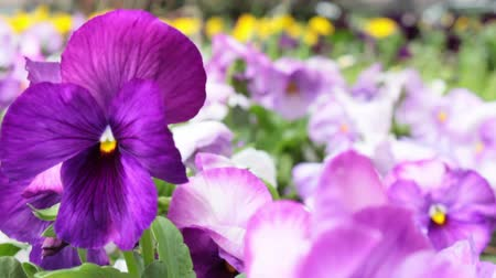 maceška : panning shot, from purple pansy flowers upwards over flower bed in urban garden area Dostupné videozáznamy