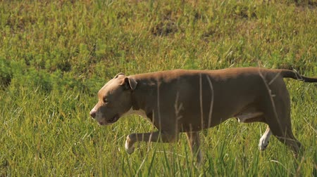 hunting dog : Panning slow motion shot of a tan red nosed pit bull dog running through a grassy field.