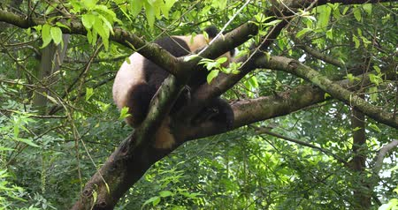 banyan : Close up of One Giant panda bear relax sitting in the tree outdoor in Sichuan China,4k Stock Footage