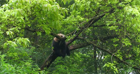 banyan : One Giant panda bear relax sleep in the tree outdoor in SiChuan China,4k