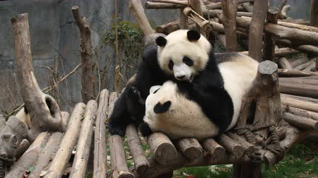 panda : Close up of Two Lovely Young Giant Panda Bear Playing together