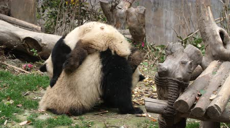 панда : Close up of Two Lovely Young Giant Panda Bear Playing together