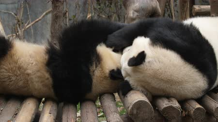 gigante : Close up of Two Lovely Young Giant Panda Bear Playing together