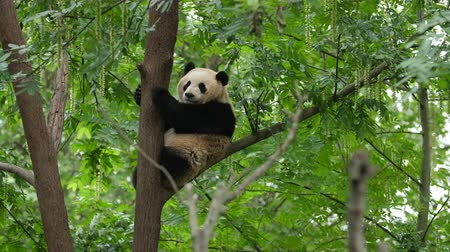 gigante : panda on tree Stock Footage