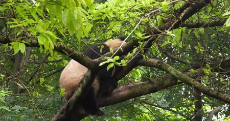 banyan : Close up of One Giant panda bear relax sitting in the tree outdoor in SiChuan China,4k