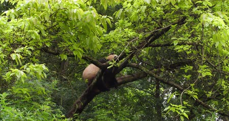 banyan : One Giant panda bear relax sitting in the tree outdoor in the zoo at Chengdu Research Base of Giant Panda Breeding, China,4k