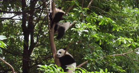 панда : Two lovely baby panda cub sleeping relax in the tree at Chengdu Research Base of Giant Panda Breeding, China,4k