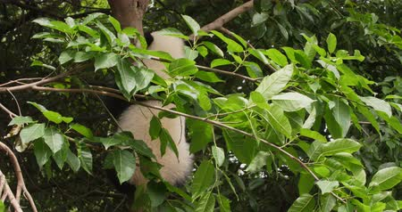 cubs : One lovely baby Panda cub Climbing down the tree in Chengdu China,Chengdu Research Base of Giant Panda Breeding, 4k