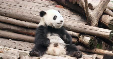 dev : One lovely baby Panda cub sitting and relax eating in Chengdu Research Base of Giant Panda Breeding,China, 4k