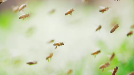 hummel : Slow motion of swarm of bees, honeybee flying around beehive in the sunshine with blurred background, shallow focus Videos