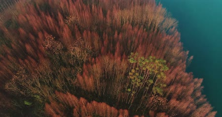 âmbar : aerial shot of dawn redwood woods by the water side at autumn or winter time with beautiful brown color, wild nature aerial 4k footage
