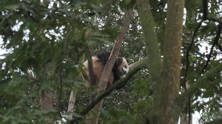 panda : One lovely young giant panda bear resting on the tree in mountain woods outdoor at Sichuan China, wildlife 4k footage