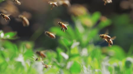 arı kovanı : Slow motion of swarm of bees, honeybee flying around beehive in the sunshine with blurred background, shallow focus Stok Video