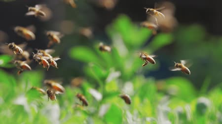 Slow motion of swarm of bees, honeybee flying around beehive in the sunshine with blurred background, shallow focus Stock Footage