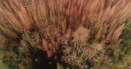 aerial above view of dawn redwood woods in the autumn with no leaf in the sunshine, camera rotating 4k drone clip of beautiful nature landscape