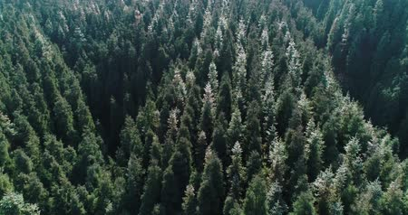 Aerial above slow motion shot of pine tree forest in the middle day with sunlight on buds, buds sprouting on the tree top, wild nature landscape 4k aerial footage