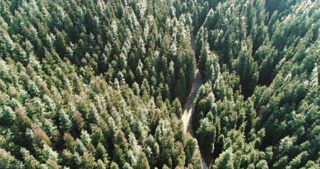 Aerial shot of pine tree forest in the mountain with small road , wild nature landscape 4k aerial footage Stock Footage