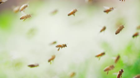 honeybee : Slow motion Close up of big swarm of honey bees flying around crawl in and out beehive through bamboo hole in apiary spring sunny day Stock Footage