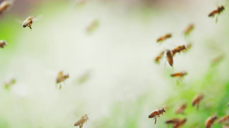 Slow motion of swarm of bees, honeybee flying dancing in the sunshine with blurred  bright background, shallow focus