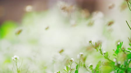 Slow motion of swarm of bees, honeybee flying in the sunshine with blurred background and lens zooming shallow focus