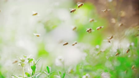 Slow motion of swarm of bees, honeybee flying in the sunshine with blurred background, shallow focus Stock Footage