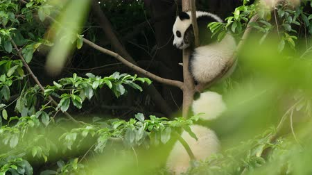 панда : Two Lovely Young Giant Panda Bear Cubs Playing in the Tree at Chengdu Research Base of Giant Panda Breeding,4k