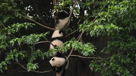 панда : Three Lovely Young Giant Panda Bears Cubs Playing in the Tree at Chengdu Research Base of Giant Panda Breeding,4k