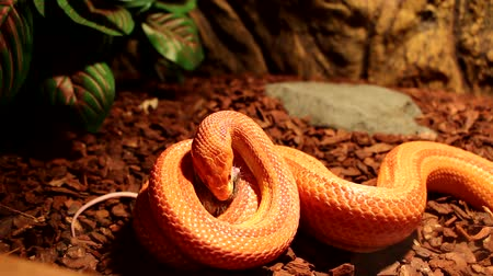 had : Albino Snake attack a brown mouse