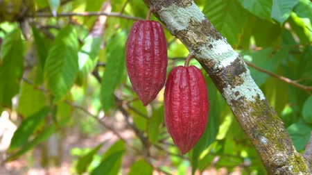 amazonka : Cocoa tree with beautiful dark red pods, fresh, organic and healthy cocoa fruit in 4k