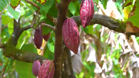 стручок : Cocoa tree with beautiful dark red pods, fresh, organic and healthy cocoa fruit in 4k