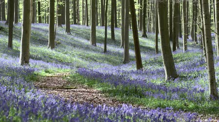 zálesí : Morning sunlight in forest with bluebell flowers of Halle, Halle, Belgium Dostupné videozáznamy