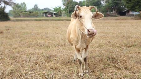 Cow in the field with some ignore and shy acting, Srisaket, Thailand