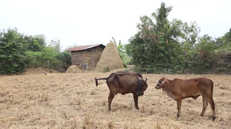 cow flies : A couple of Cow in the field with some shy acting, Srisaket, Thailand